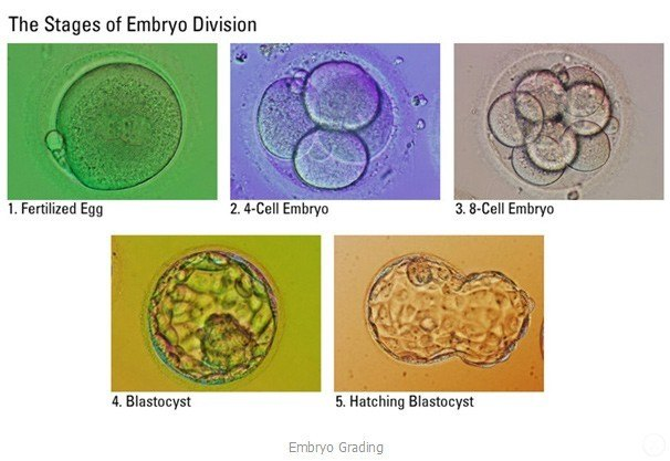 The Stages of Embryo Division